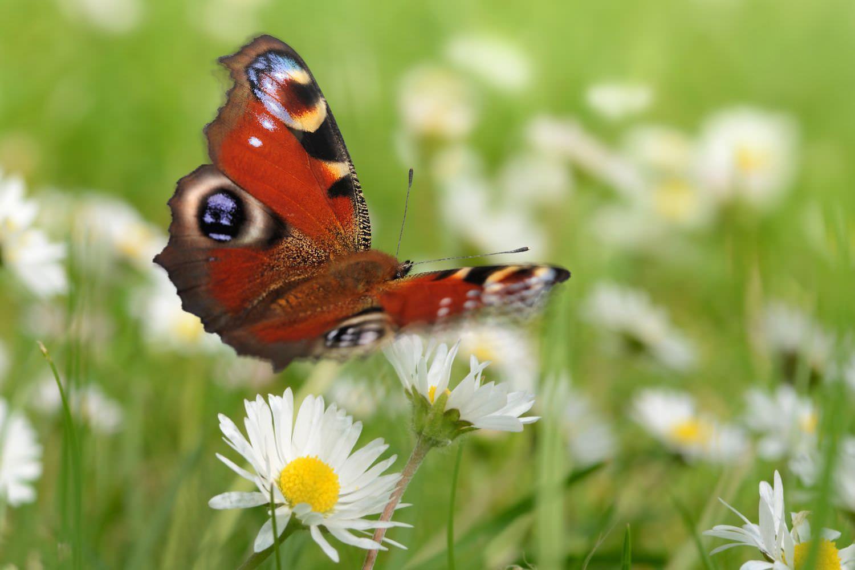 Bild zeigt: Ein Schmetterling in Großaufnahme auf einer Wiese mit Gänseblümchen