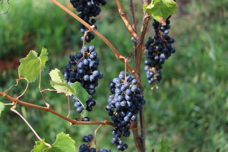 Bild zeigt: Drei Reben mit reifen blauen Trauben hängen an einem Weinstock